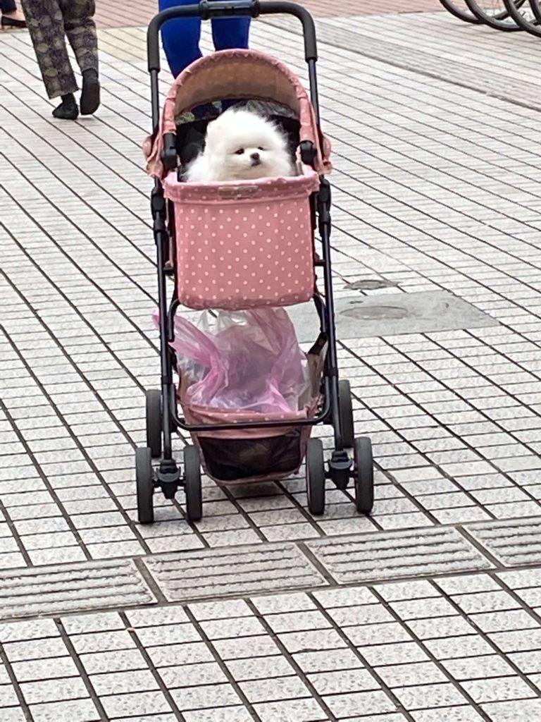 雙連朝市_ベビーカー犬